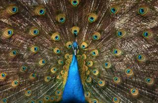 Zoo Peacock